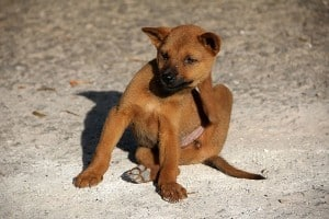 Hond met vlooien