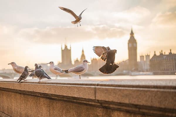 duiven op een muur