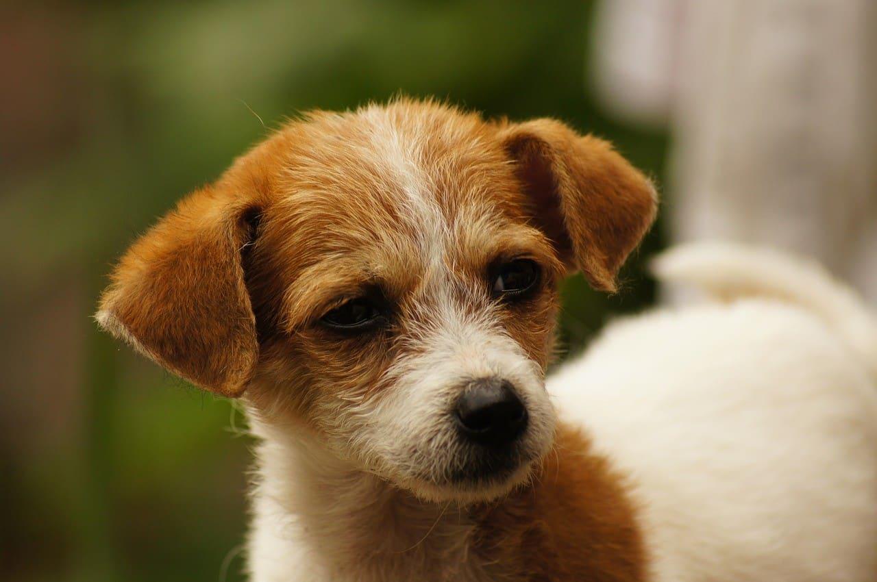 puppy-hond
